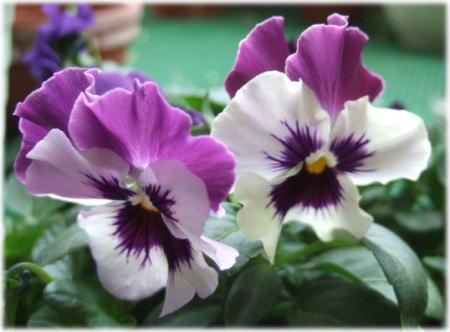 viola1.jpg